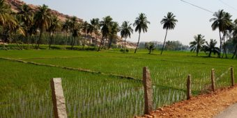 rice paddies south india