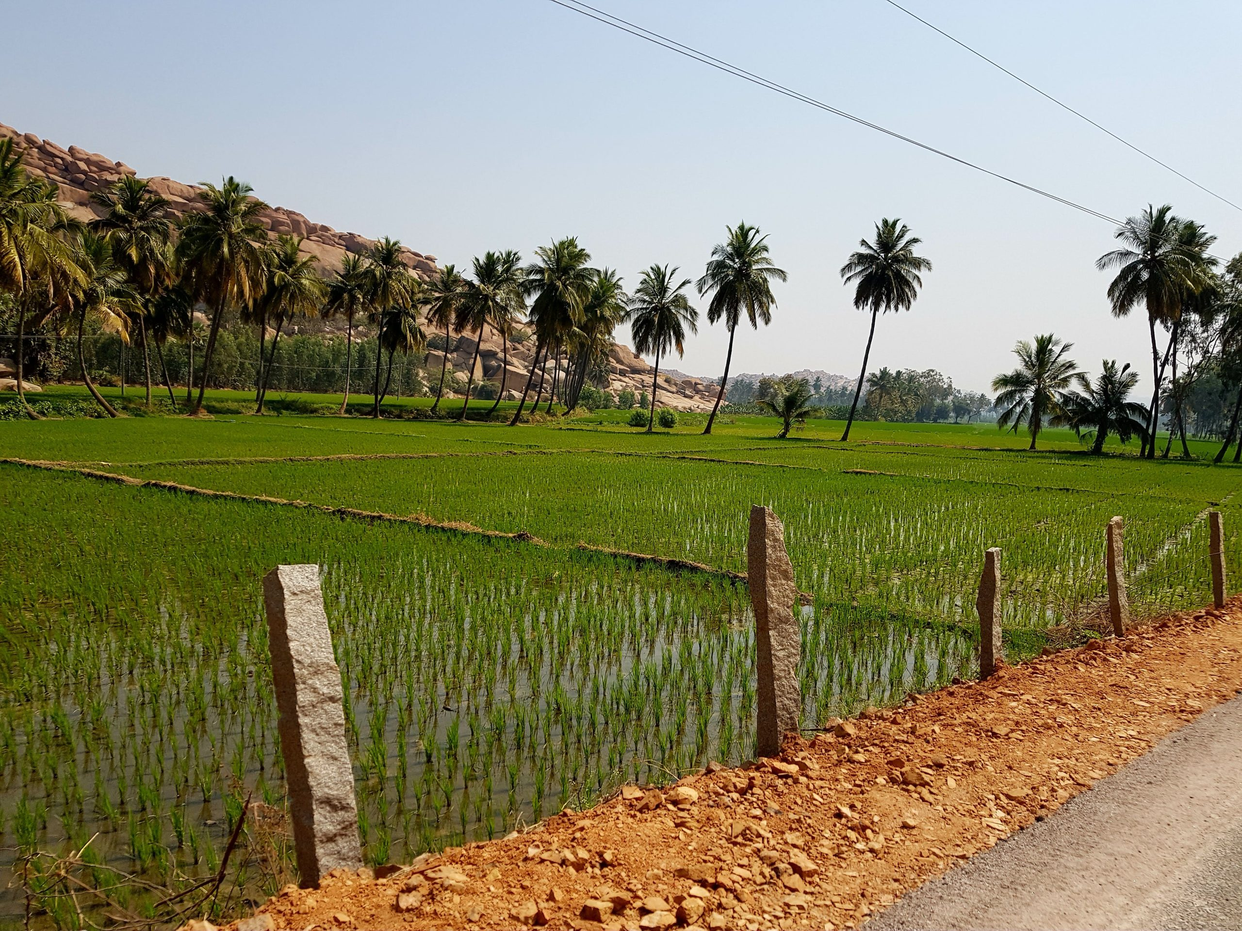 rice paddies south india