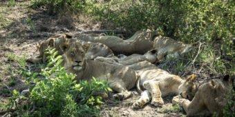lions safari africa