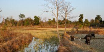 rice paddies madhya pradesh