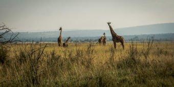 giraffe safari rwanda