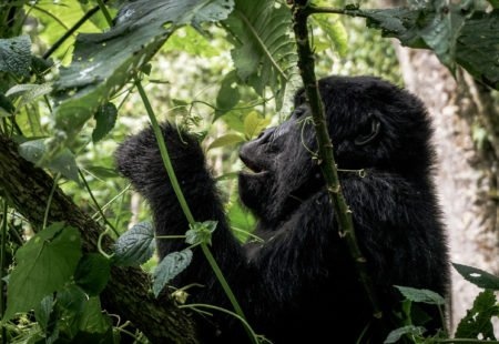 """<h3>How is it going?</h3>  The Rwanda <a href=""""https://www.vintagerides.travel/"""">motorcycle tour</a> has been designed to experience an entire morning dedicated to meeting the gorillas. It is not an extra extension to be organized but an optional activity proposed during your stay in Musanze. Be careful, book in advance as places are limited and it becomes more and more difficult to get permits in high tourist season. On the D-day, meet at 7:30 am at the park HQ, a few kilometers from your hotel. In the morning fog, everyone is curious, impatient and intimidated. The briefing is clear, the organization serious. For several years, about ten gorilla families have been used to the presence of men in their environment. Tourist groups are limited to a maximum of 8 people and the approach in the forest is only one hour per day. Even if they are used to human presence, the gorillas are not waiting for your visit. It is you who goes towards them after an approach walk through a dense and humid forest."""