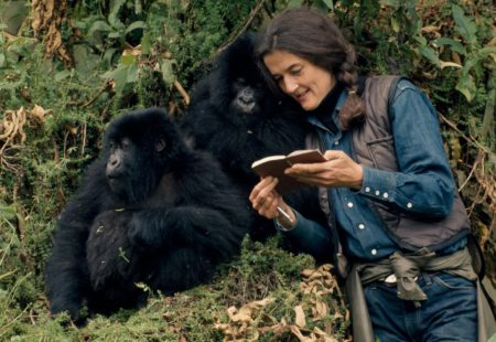 <h3>Gorillas in the Mist</h3>  If gorillas still exist today in their natural environment, it is thanks to Dian Fossey's relentless fight. In 1967, the American primatologist set up her research centre in Karisoke, perched at an altitude of 3,000 m in northeastern Rwanda. When she was murdered in 1985, there were fewer than 275 gorillas. The formerly endangered population has been increasing in numbers for several years. Thanks to the commitment of the Rwandan government, transnational cooperation efforts, the involvement of local communities and tourism, there are currently just over 1000 individuals worldwide, all distributed in the Virunga Mountains, mostly in Rwanda, but also in Uganda and Congo (DRC).