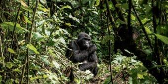 gorilles africains dans la jungle
