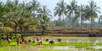 rice paddy south india