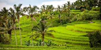 rice paddies indonesia