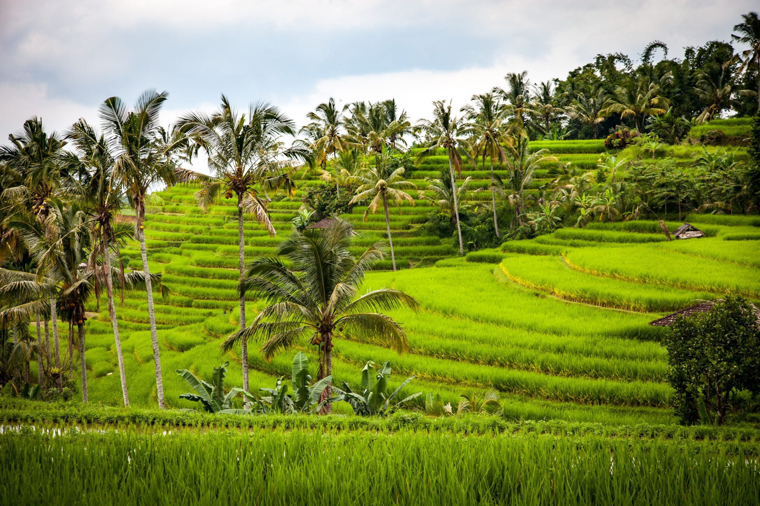 rice paddies indonesia