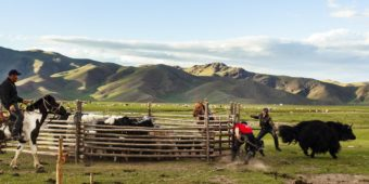 cattle farm mongolia