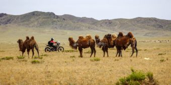 wild camels mongolia