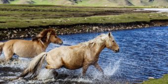 wild horses mongolia