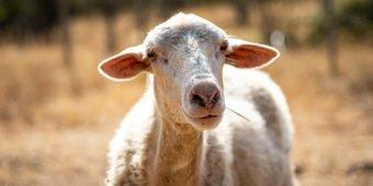 sheep from sardinia italy