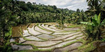 paddy field indonesia bali