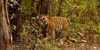 tiger north india rajasthan