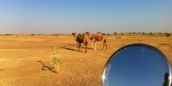 camel north india rajasthan
