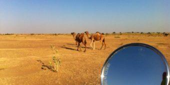 camel north india rajasthan