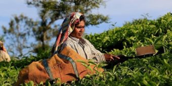 woman tea plantation india