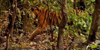 tiger india madhya pradesh