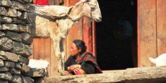 goat woman nepal