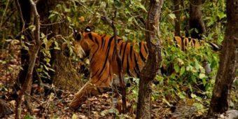 india madhya pradesh tiger