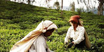 sri lanka tea estate plantation pluckers